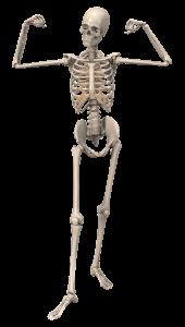 szkielet 02